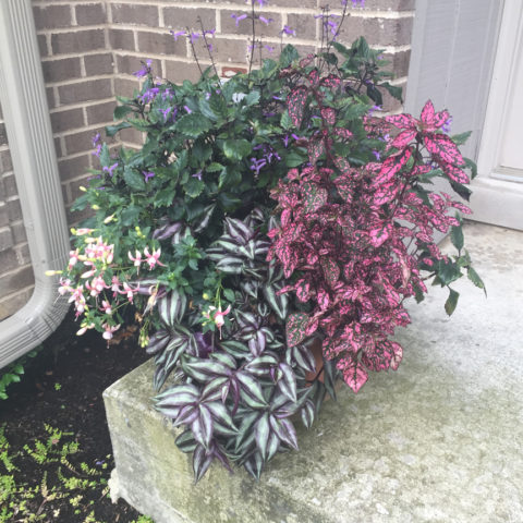 Dry shade container featuring colorful foliage and continuous bloom