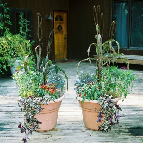 We can create striking fall containers with Millet, Kale, ornamental peppers and wandering jew
