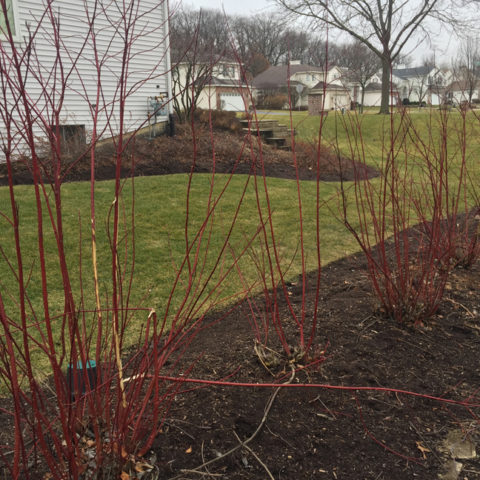 Winter rejuvenation pruning makes these red twig dogwoods the envy of the neighborhood!