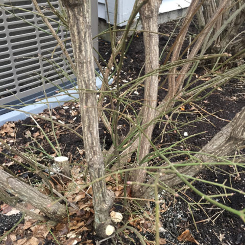 Rejuvenation pruning is conducted during the dormant season to remove old branches at the base.