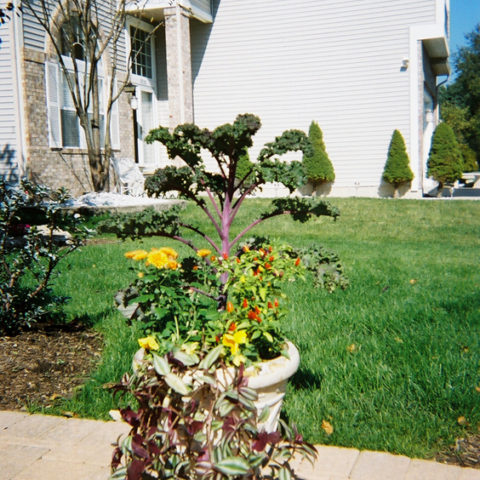 Kale, hardy mums, ornamental peppers and wandering jew are used to create this fall design